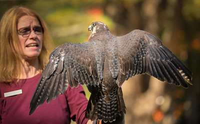 Christine with young Peregrine Falcon showing off its wings!
