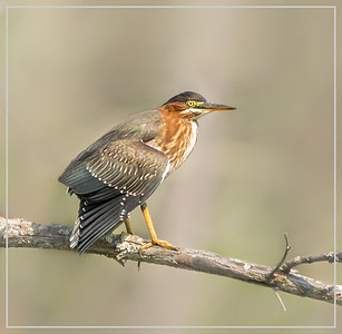 Green Heron shows up in the rookery!