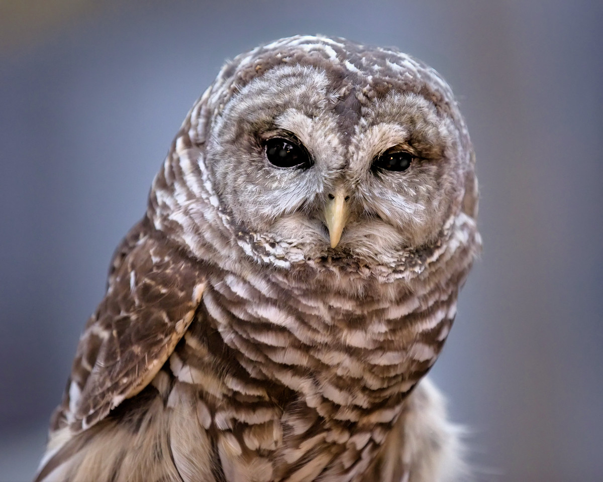 Emrys the Barred Owl
