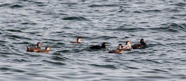 Trying to get closer to the Black Scoters but they were far off the coast!