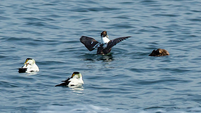 Common Eiders.