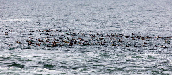 Huge flock of Black Scoters at Beavertail.