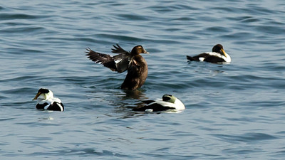 Female eider showing her stuff...