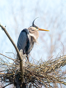 Great Blue Heron recent arrival in late April.  Hoping a mate shows up!