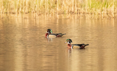 Male Wood Ducks on Golden Pond