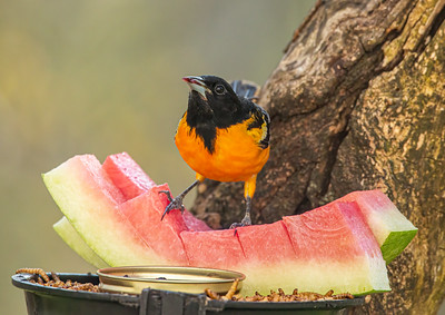 Baltimore Orioles like to have a smorgasbord to dine on!