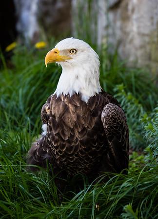Bald Eagle at Roger Williams Zoo
