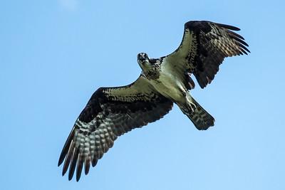 Osprey flying over Preston, CT