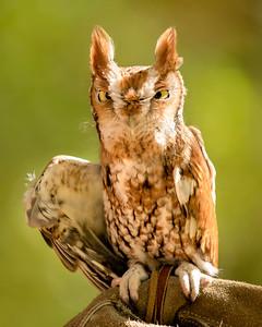 "Eastern Screech Owl  ""Kokopelli"""
