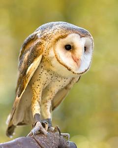 "Barn Owl  ""Hob Goblin""  Male"