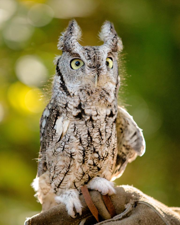 "Eastern Screech Owl  ""Snow Ball"""