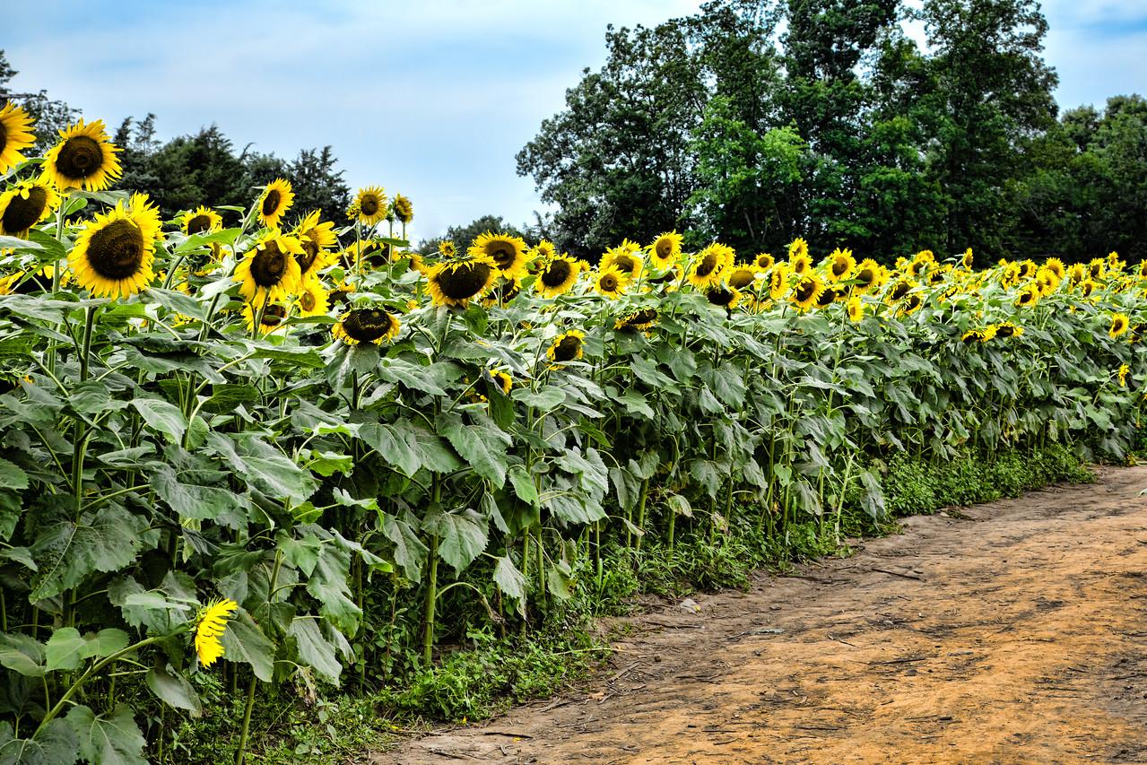 Buttonwood Farm Sunflower Festival 2013