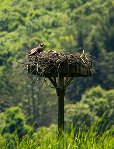 One of the platform osprey nests, but most others were made in trees by the ospreys.