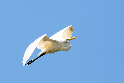 Great White Egret taking off!
