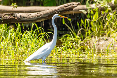 Great White Egret in search of its next meal...