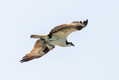 Ospreys as excellent hunters of fish!