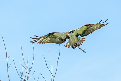 Male Osprey working on nest building