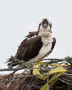 Osprey Nest near Jamestown