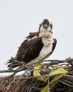 Osprey Nest near Jamestown