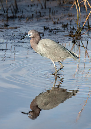 Little Blue Heron reflecting...
