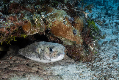 Smiling Pufferfish