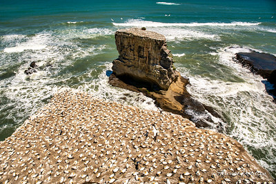 Thousands of gannets nesting on the rock stacks and cliffs at Muriwai beach
