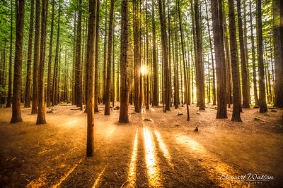 Sun rays in the Redwoods Forest in Rotorua