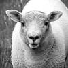 11-26-2013 Lamb
