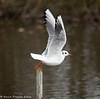 3-Dec-16 Black Headed Gull