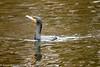 5-Dec-16 Cormorant