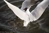 25-Mar-16 Fighting Black-headed Gulls