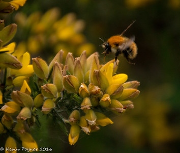 18-May-16 Bee on Gorse.