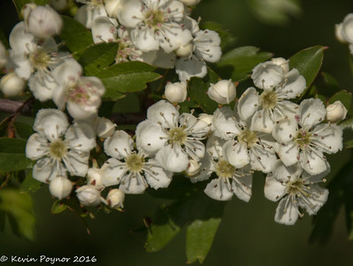 22-May-16 Hawthorne Blossom