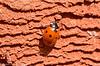 24-Apr-16 7-spot ladybird (Coccinella 7-punctata)