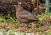 17-Dec-17 Female Blackbird.