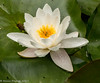 4-Aug-17 Water Lily