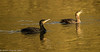 27-Nov-17 Cormorants.