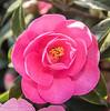 29-Mar-17 Camellia