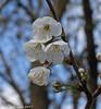 10-Apr-17 Cherry Blossoms.
