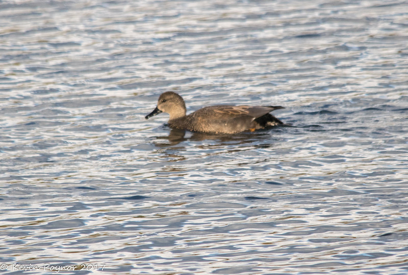 4-Dec-17 Gadwall.