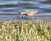 27-Mar-17 Common Redshank.