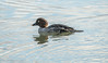 6-Dec-17 Female Goldeneye