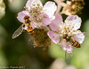 10-Jul-17 Hover Flies feeding on blackberry flowers.