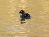 11-Feb-17 Female Goldeneye.