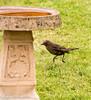 8-Mar-17 Caught mid-hop. Female Blackbird.