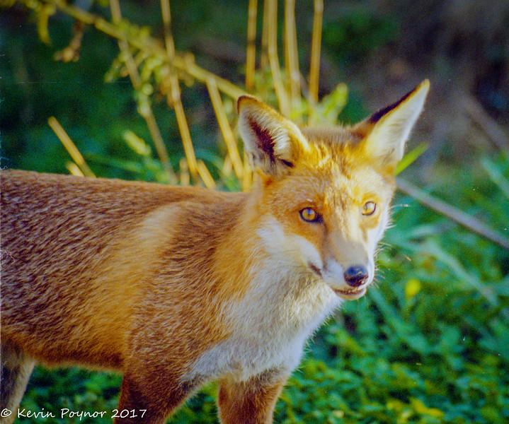 23-Dec-17 Red Fox