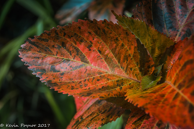 1-Jun-17 Colourful leaf.