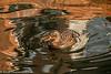 13-Jan-17 Female Mallard