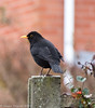 18-Dec-17 Male Blackbird