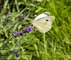 11-Jul-17 Large White feeding on Lavender